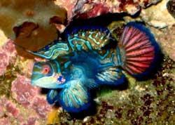 Synchiropus splendidus coral reef discus stendker pesci for Pesce discus